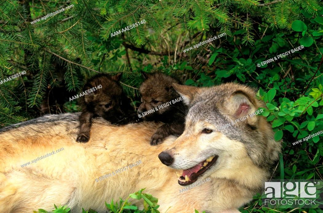 Stock Photo: Gray Wolf w/ one month old Pups (Canis lupus) Montana/Canada border.
