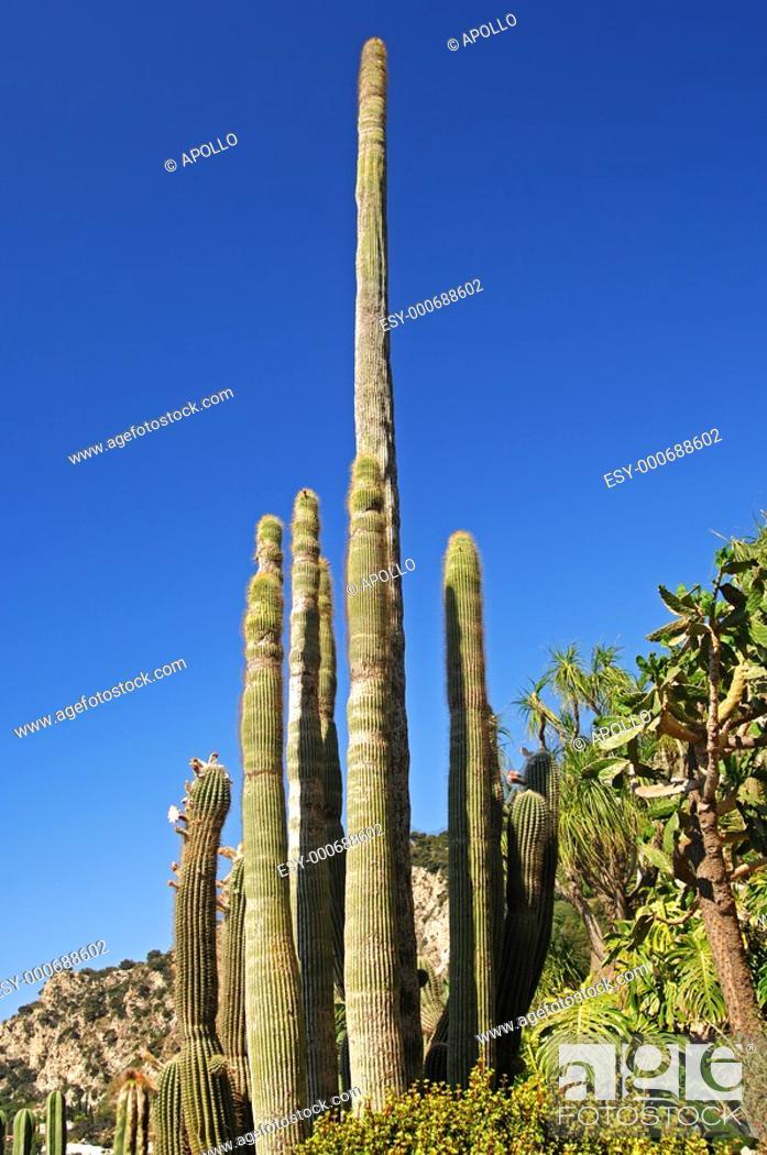 Stock Photo: Columnar cacti.