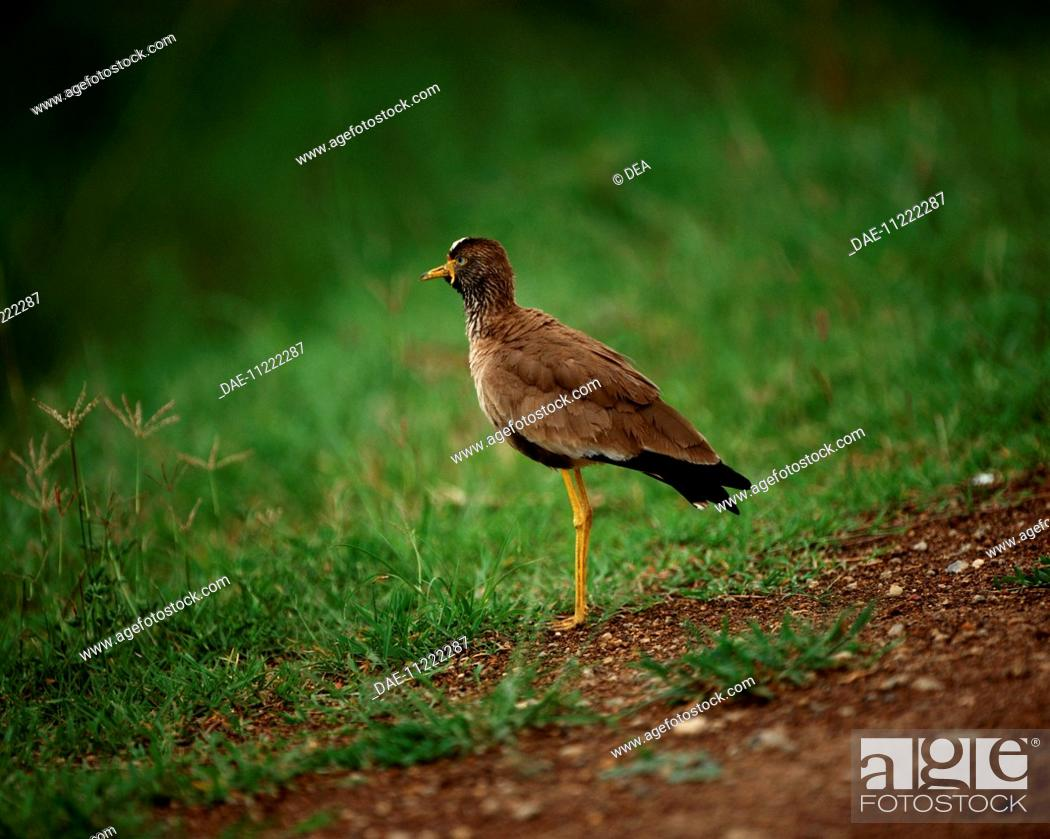 Stock Photo: Zoology - Birds - Charadriiformes - Northern lapwing (Vanellus vanellus). Kenya, Masai Mara National Reserve.