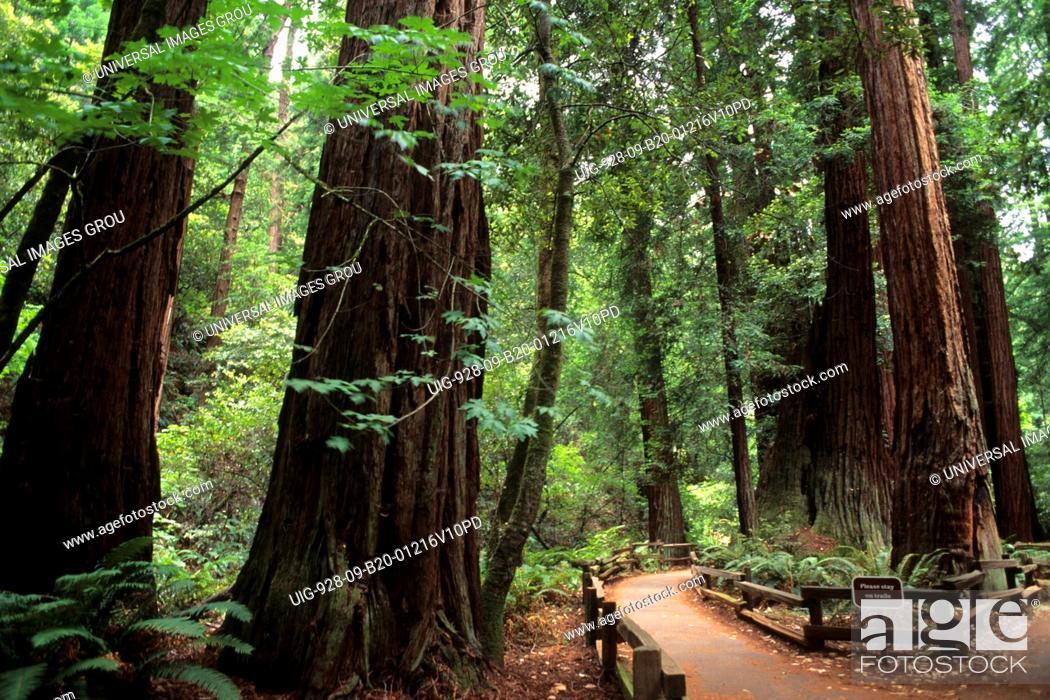 Stock Photo: California, Muir Woods.