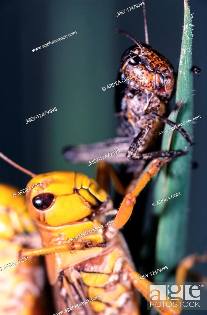 Stock Photo: Migratory locust, Locusta migratoria, on gregarious.