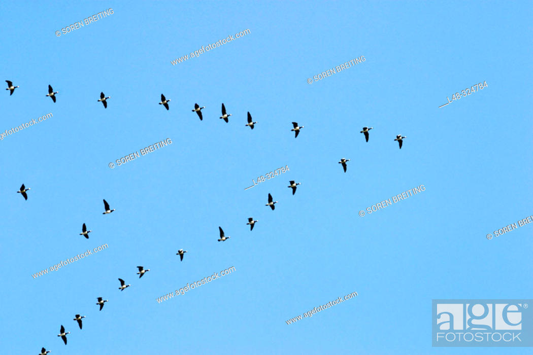 Stock Photo: Barnacle Goose (Branta leucopsis) in huge flock flying through Denmark during spring migration in formation from the Waddensea to the northern Russian breeding.