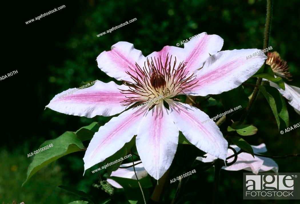Stock Photo: Clematis Nelly Moser - rose-mauve - an attractive star invited in your garden.