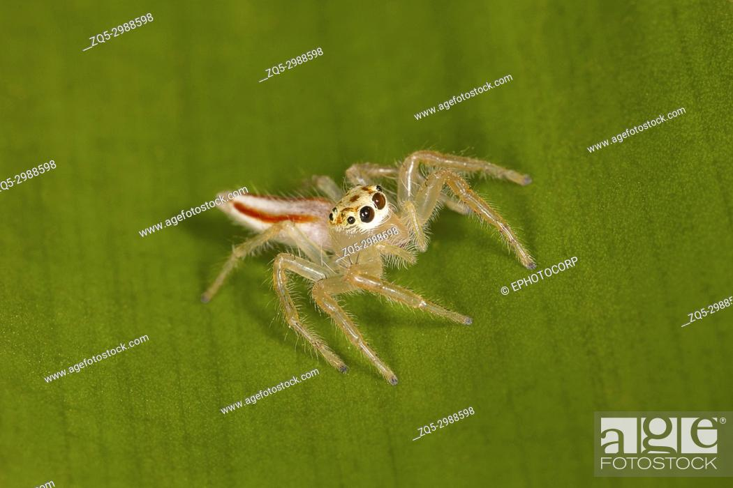 Stock Photo: Two Striped Spider Female, Telemonia dimidata, Salticidae. Kolhapur, Maharashtra, IndiaThey often found under the shelter of tree leaves.