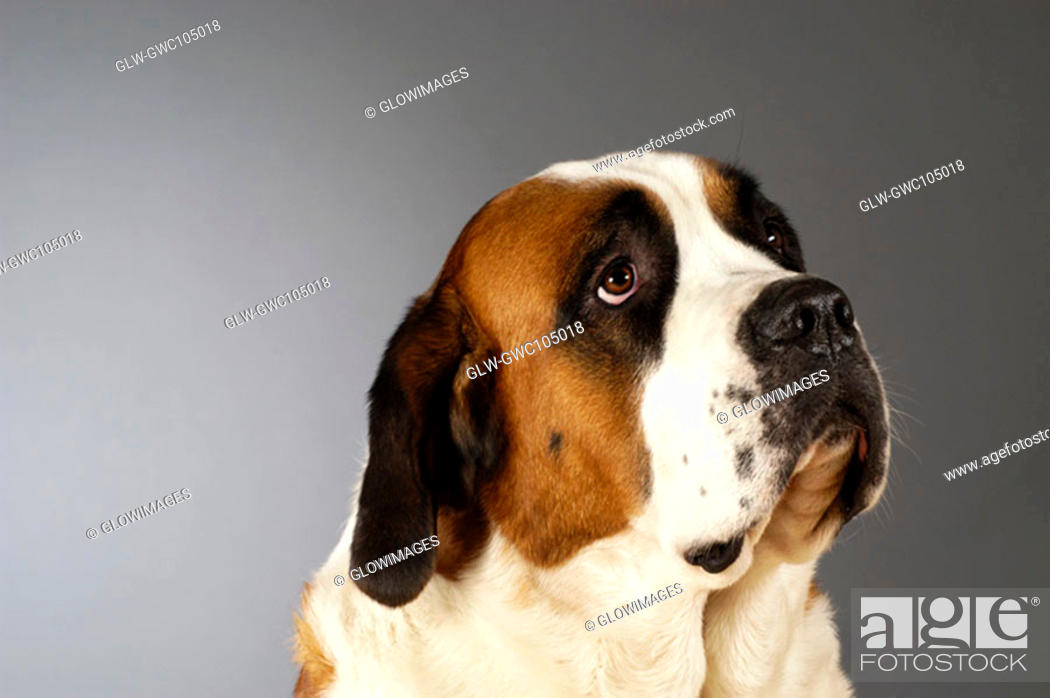 Stock Photo: Side profile of a St. Bernard dog looking up.