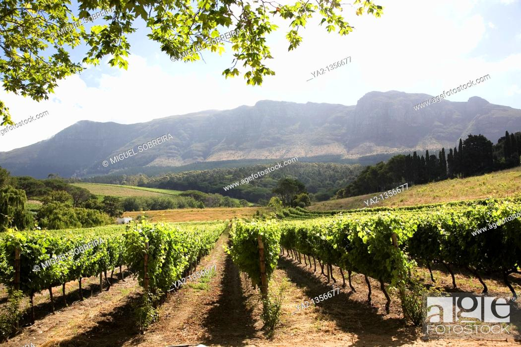 Stock Photo: Buitenverwachting Wine Estate Vines.