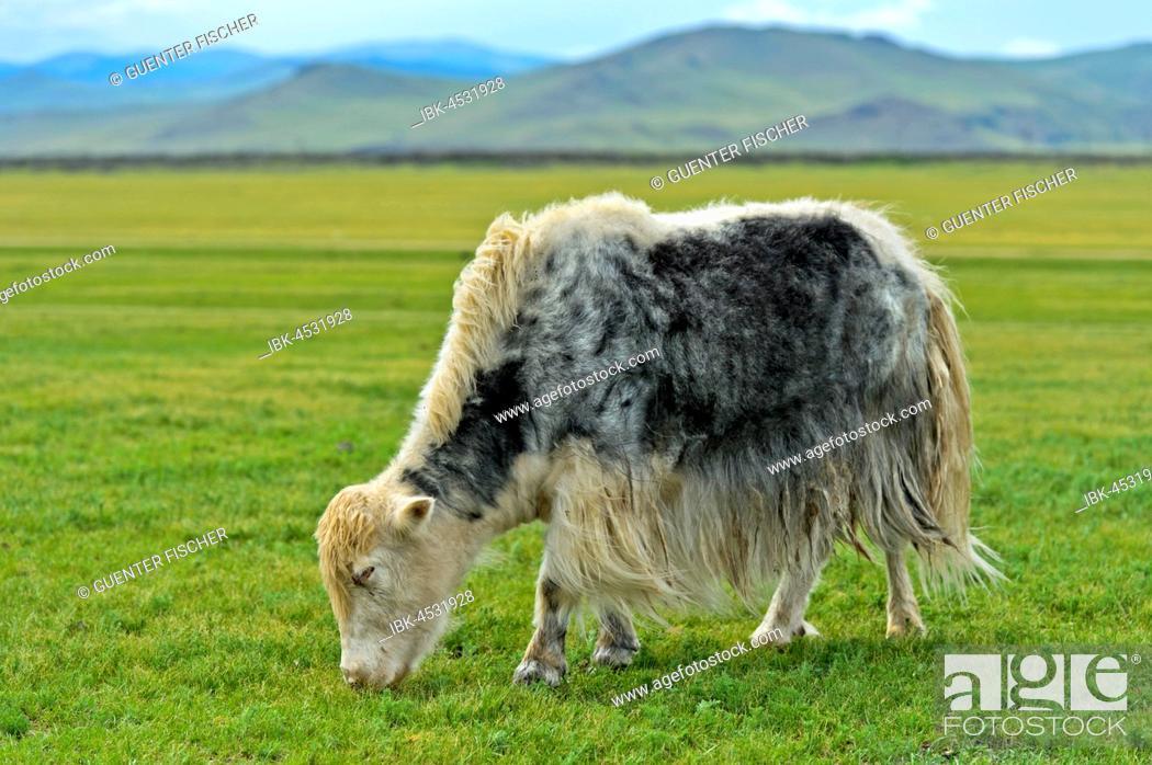 Stock Photo: Grazing Yak (Bos mutus), Orchon Valley, Khangai Nuruu National Park, Archangai Aimag, Mongolia.