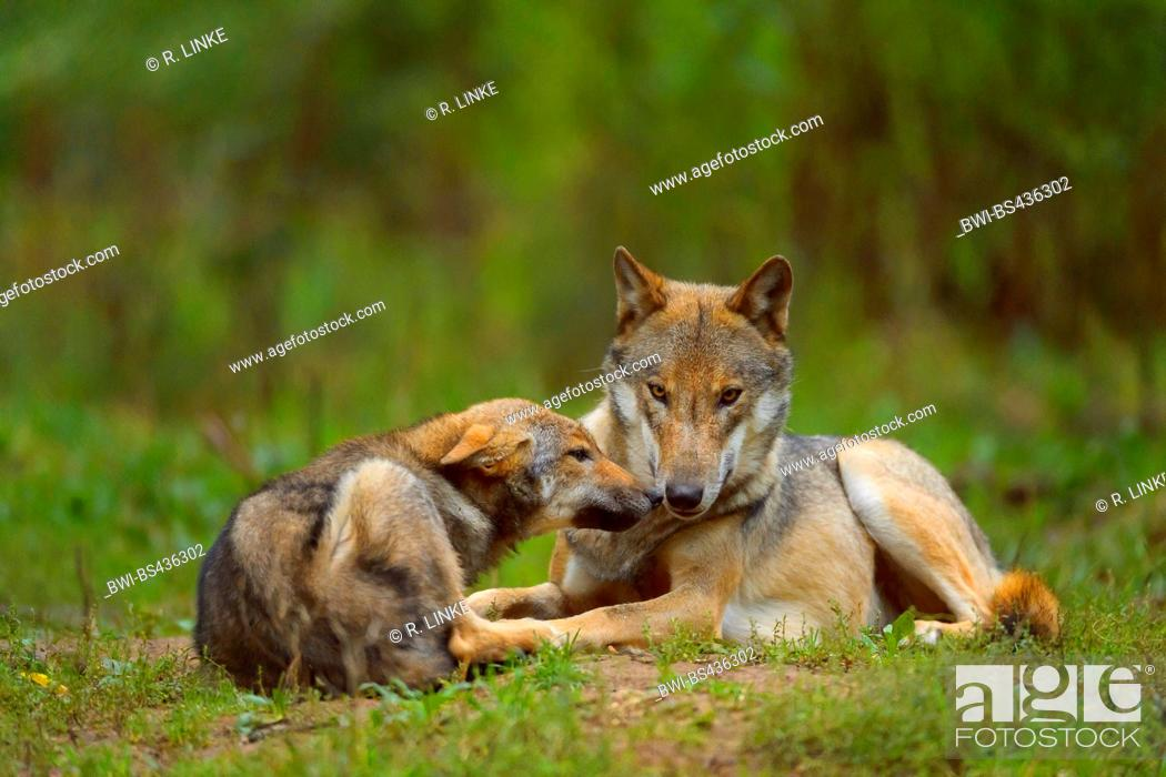 Stock Photo: European gray wolf (Canis lupus lupus), wolf with pup, Germany.