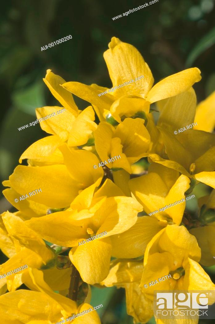 Stock Photo: Forsythia intermedia - a profusion of bright yellow flowers signal of ending winter.