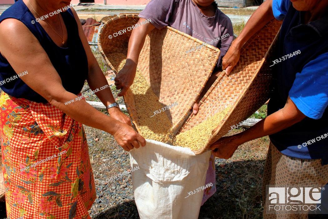 Stock Photo: Sun-dried paddy in progress, sarawak, malaysia, borneo.