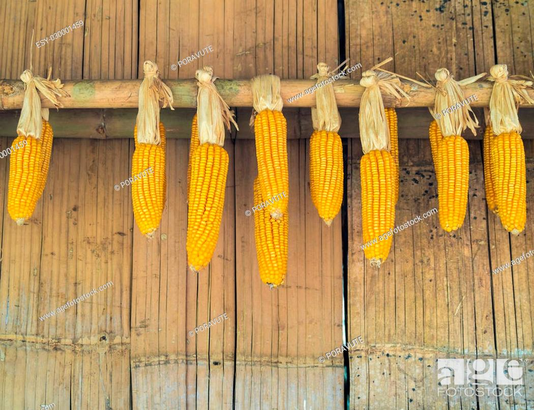 Stock Photo: Ripe Dried Corn Cobs Hanging on Old Bamboo Wall in Countryside.