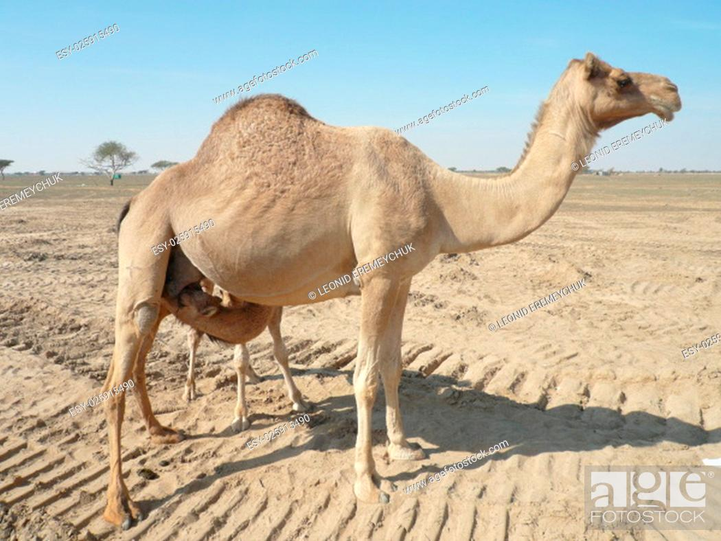 Stock Photo: Camels in the desert. Filming of camels during a trip to the Emirates.