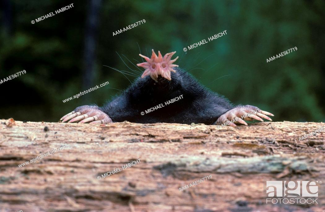 Star-Nosed Mole (Condylura cristata) Howell, New Jersey, Foto de ...