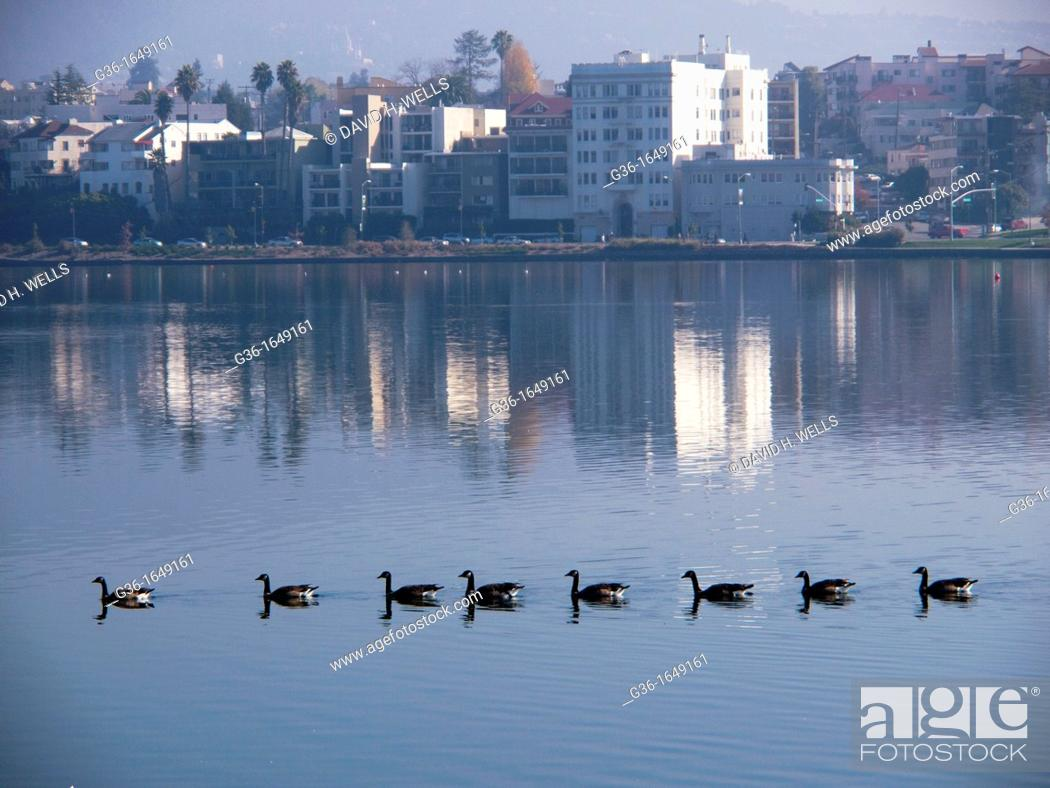 Stock Photo: Geese swim in a straight line with a view of Oakland, California, Uniited States.