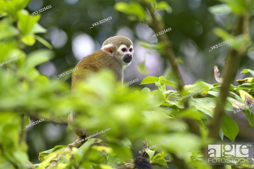 Imagen: Squirrel Monkey, Saimiri sciureus.