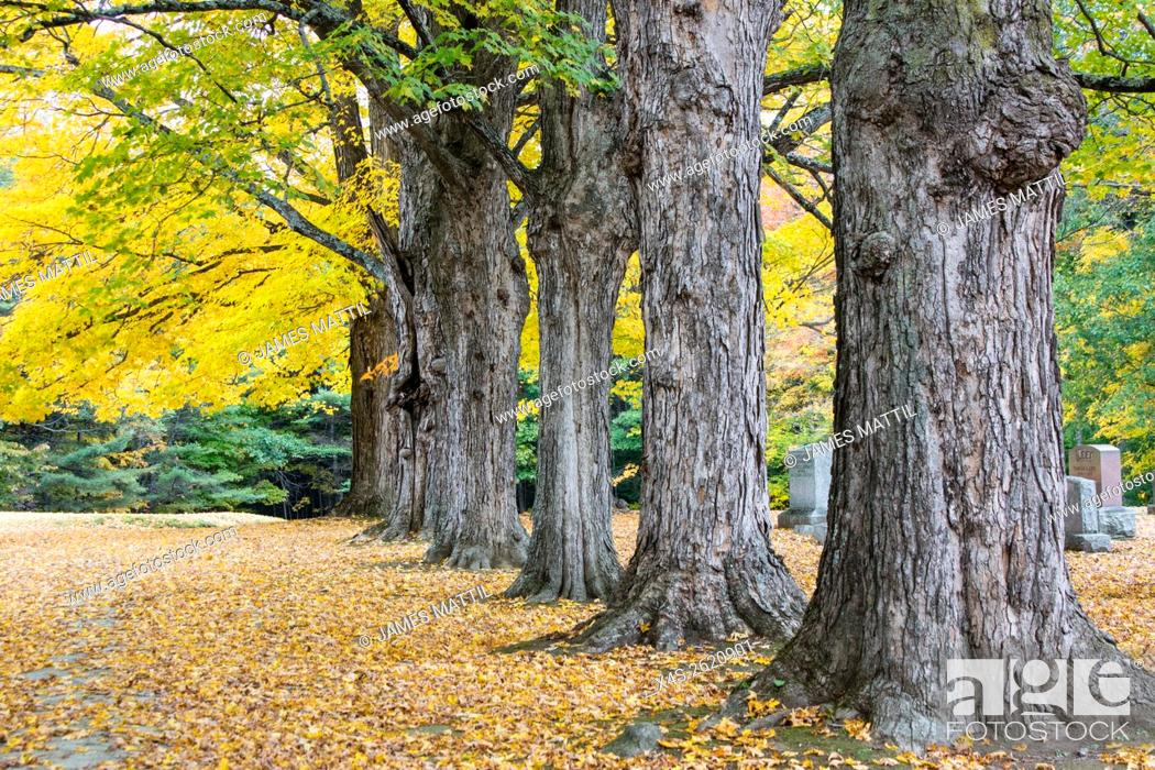 Stock Photo: Fall color highlights stately maple trees in a new England cemetary.