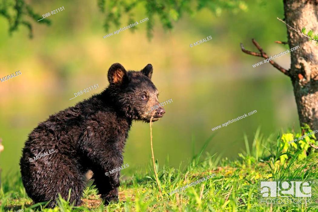 Stock Photo: Black Bear (Ursus americanus), 4 month old cub. Minnesota, USA.