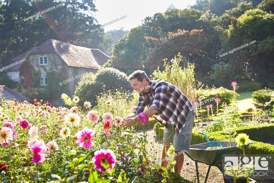 Stock Photo: Man pruning flowers in sunny garden.