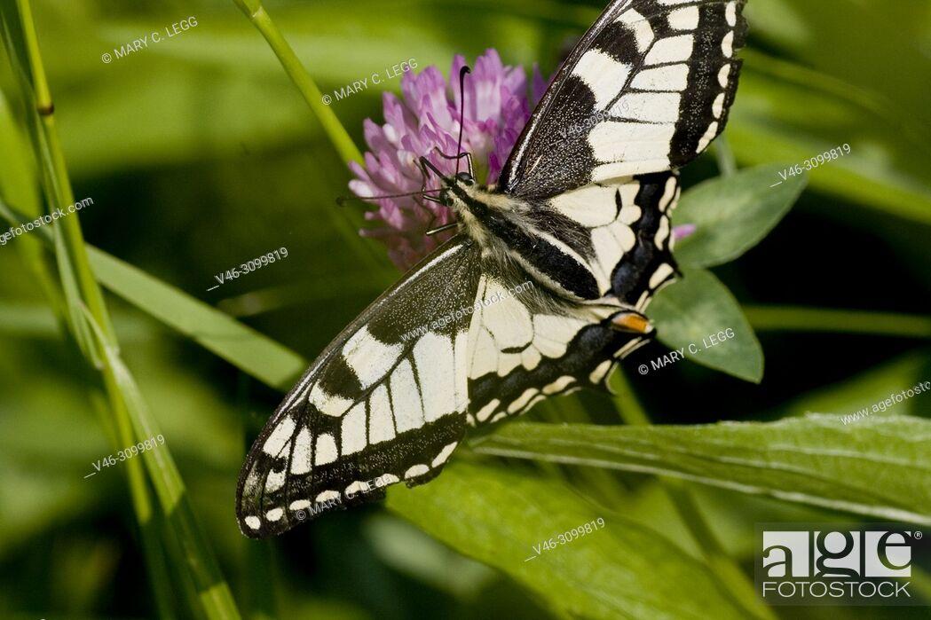 Stock Photo: Swallowtail, Papilio machaon.