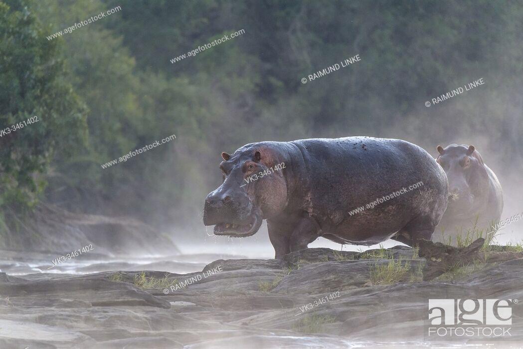 Stock Photo: Hippos at sunrise on Olare Orok river, Masai Mara National Reserve, Kenya, Africa.