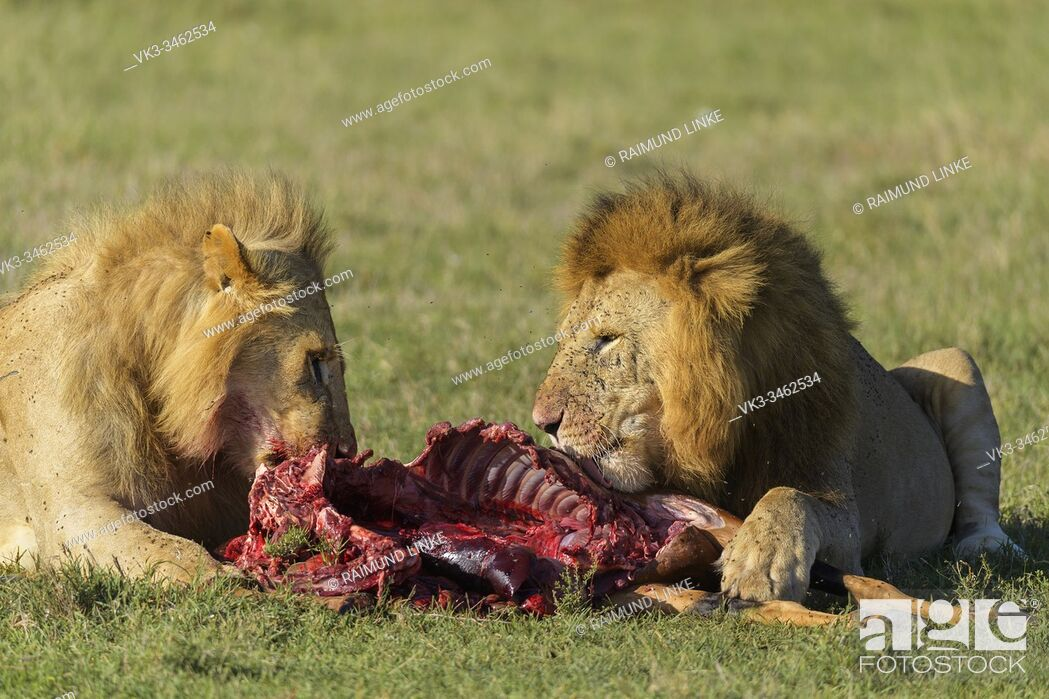 Stock Photo: African lion, Panthera Leo, on Elands antelope kill, Masai Mara National Reserve, Kenya, Africa.
