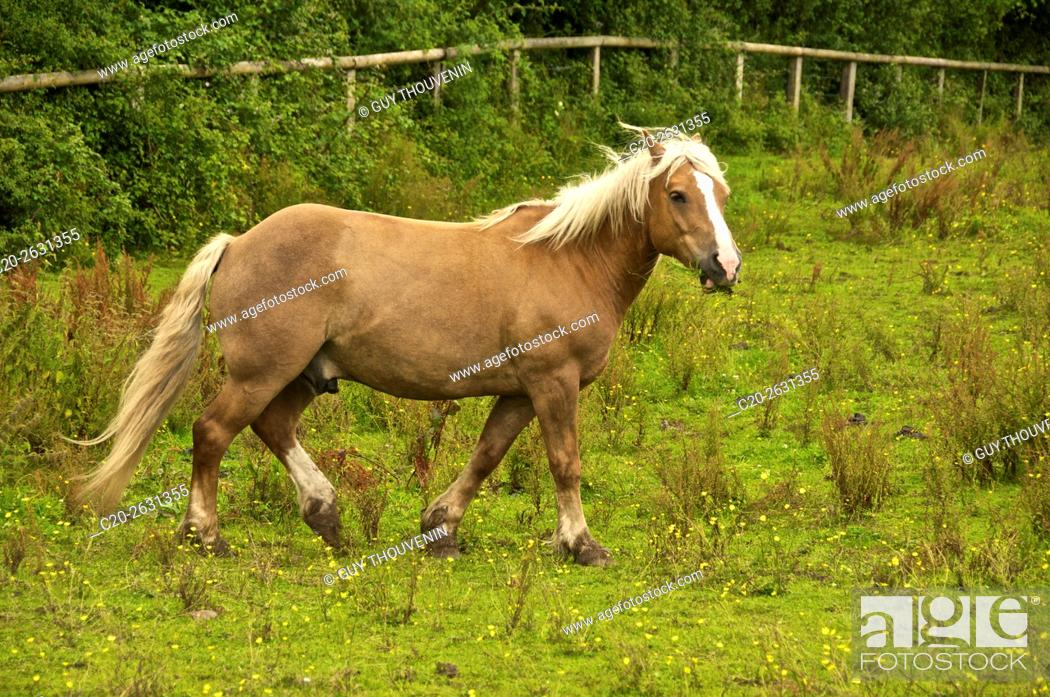 Stock Photo: Halflinger horse in meadow, Normandy, France.