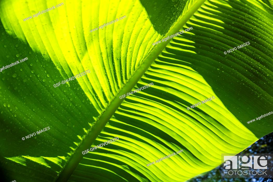 Imagen: Sunlit Banana Leaves, Close-Up.