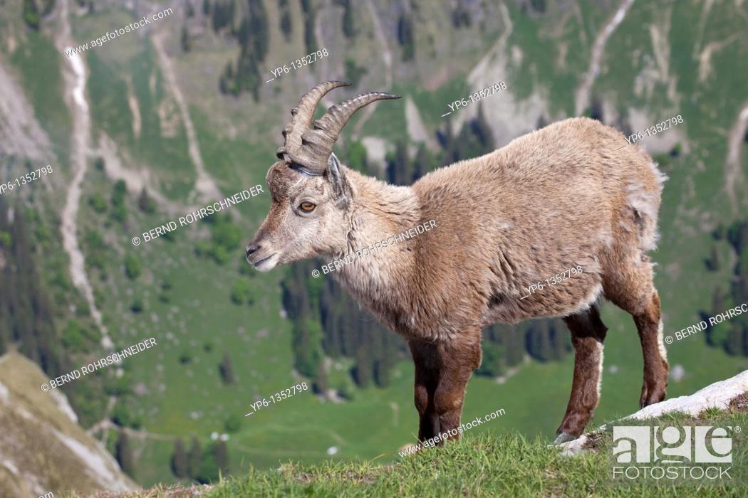 Stock Photo: Alpine Ibex Capra ibex standing on meadow in alpine landscape, Niederhorn, Bernese Oberland, Switzerland.