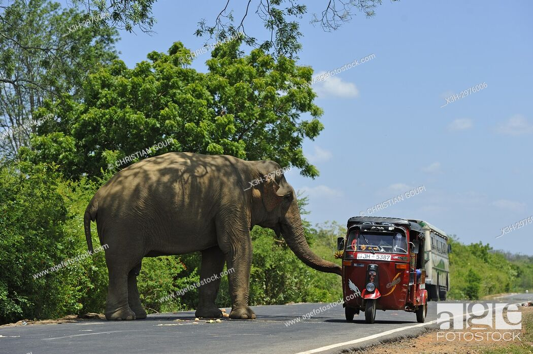 Stock Photo: free wild elephant waiting for gift from travellers on the edge of the road near Lunugamvehera National Park, Sri Lanka, Indian subcontinent, South Asia.