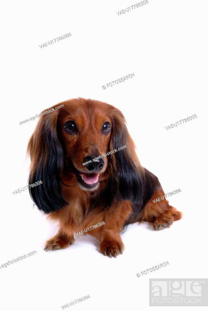 Stock Photo: canine, domestic animal, closeup, close up, looking away, dachshund.