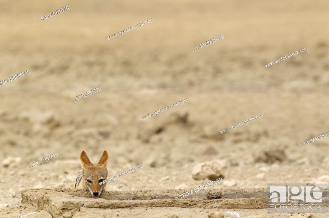Stock Photo: Black-backed Jackal (Canis mesomelas). Drinking at an artifical waterhole. Kalahari Desert, Kgalagadi Transfrontier Park, South Africa.