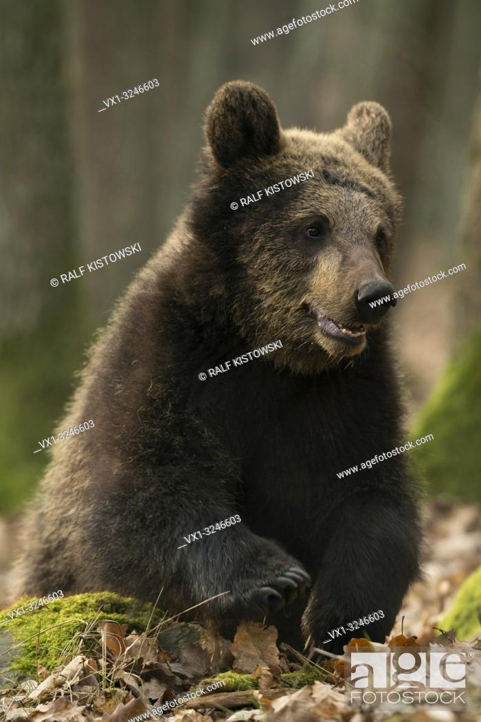 Stock Photo: European Brown Bear / Europaeischer Braunbaer ( Ursus arctos ), sitting on the ground of a deciduous forest, playing in dry leaves. .