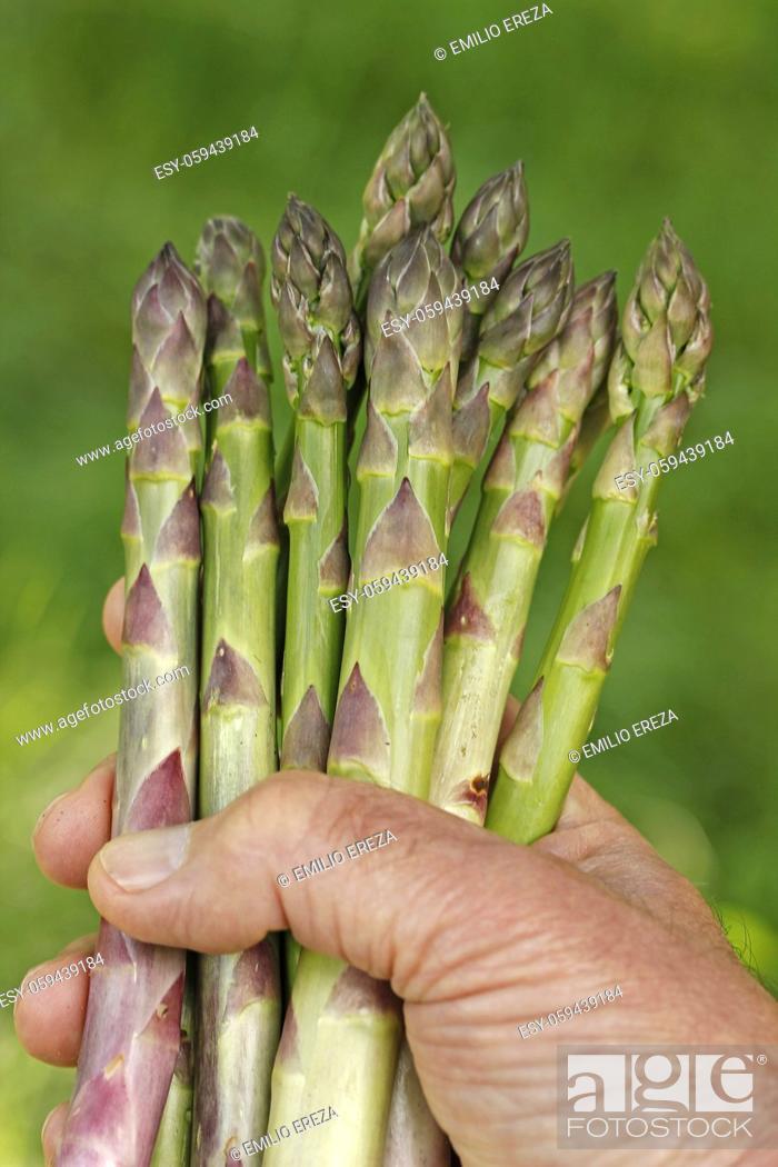Stock Photo: Collecting asparagus.