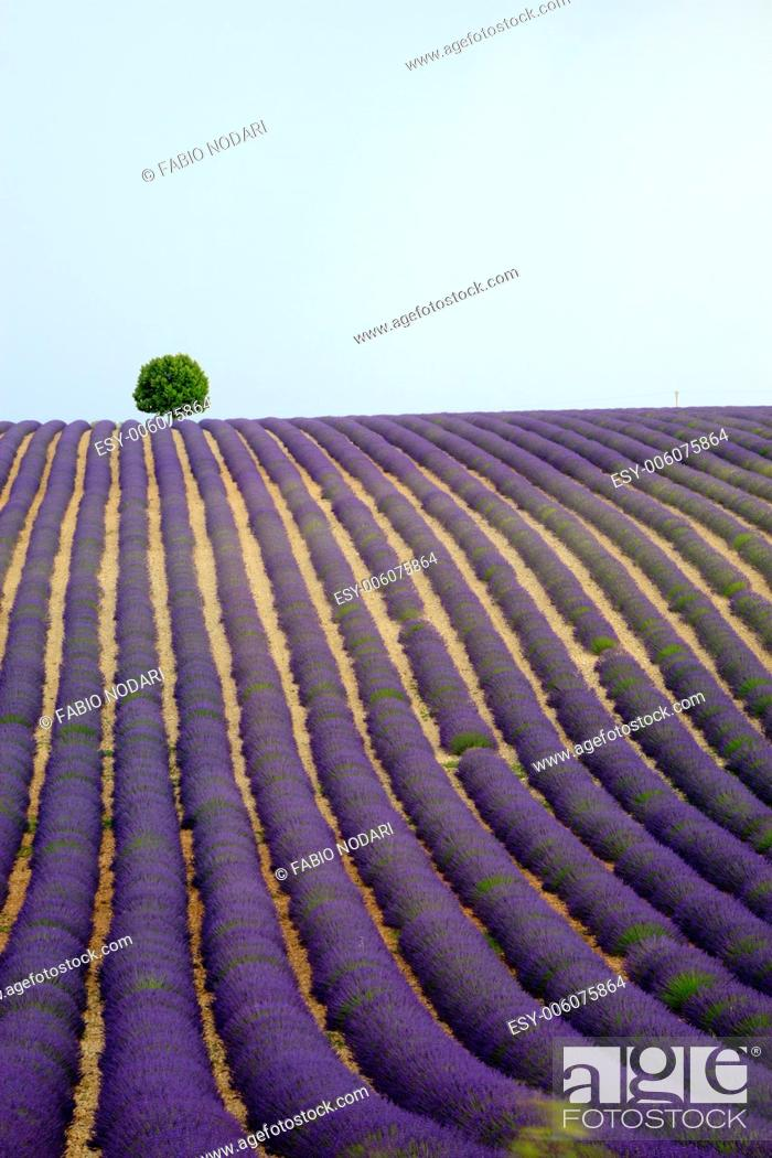 Stock Photo: Lonely tree on a lavender field.