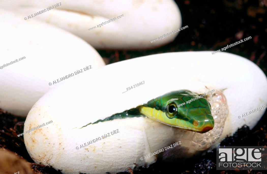Stock Photo: Red-tailed Racer snake (Gonyosoma oxycephala).