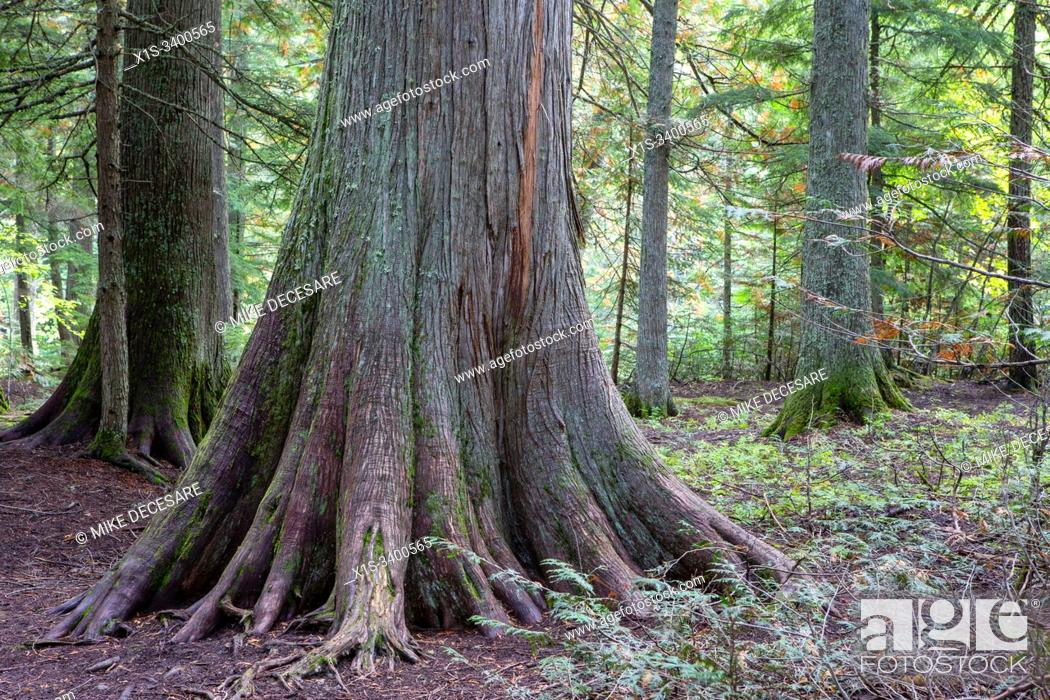 Stock Photo: Old Growth cedar trees in Glacier National Park in Montana.