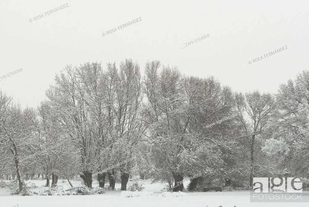 Stock Photo: Ash trees and grazing meadows covered in snow, Guadarrama National Park, Madrid, Spain.