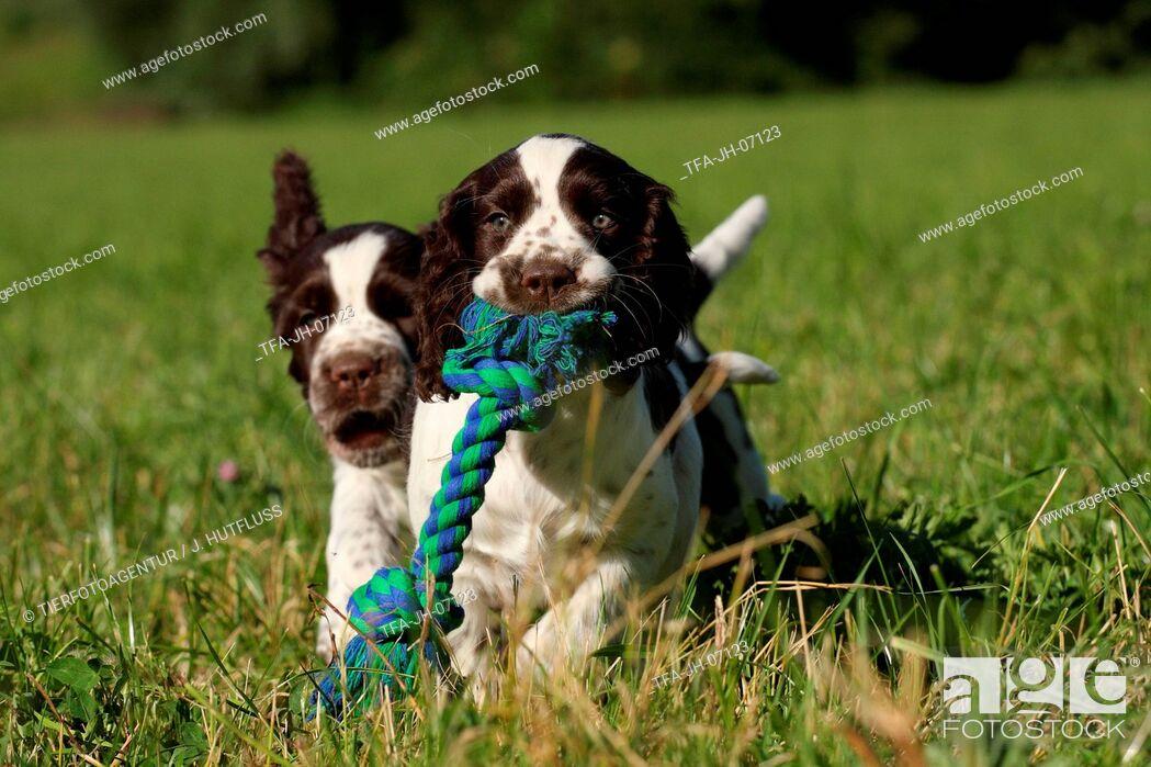Imagen: English Springer Spaniel puppy.