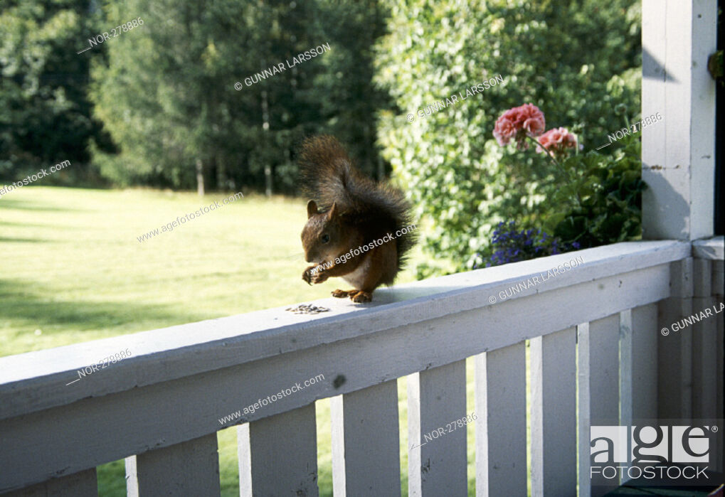 Stock Photo: Squirrel.