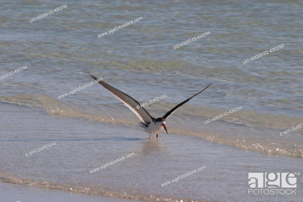 Stock Photo: BLACK SKIMMER RYNCHOPS NIGER ALSO KNOW AS RAZORBILL OR SCISSORBILL FLYING OVER GULF OF MEXICO AT SIESTA KEY BEACH, FLORIDA.