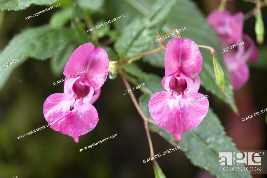 Imagen: Pink Impatiens glandulifera flower against a blur green background.