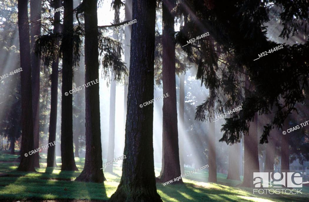 Stock Photo: Sunshine through fog and trees. Oregon coast, USA.