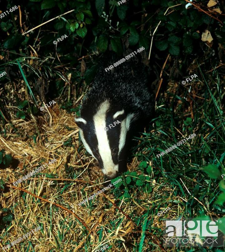 Stock Photo: Eurasian Badger Meles meles adult, foraging at night, Devon, England.