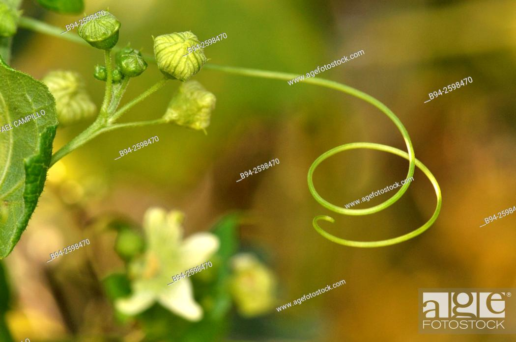 Stock Photo: Bryonia dioica Jacq, known by the common names red bryony and white bryony also English mandrake or ladies' seal, perennial climbing vine indigenous to Central.