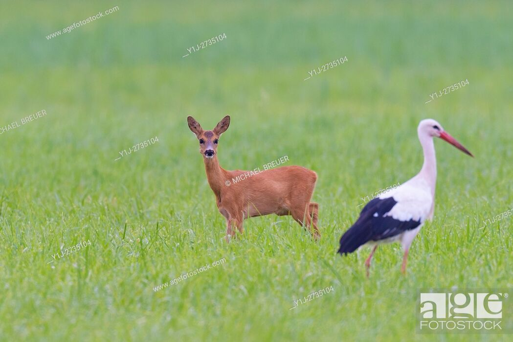 Stock Photo: Western Roe Deer (Capreolus capreolus) and White Stork (Ciconia ciconia) on Meadow, Hesse, Germany, Europe.