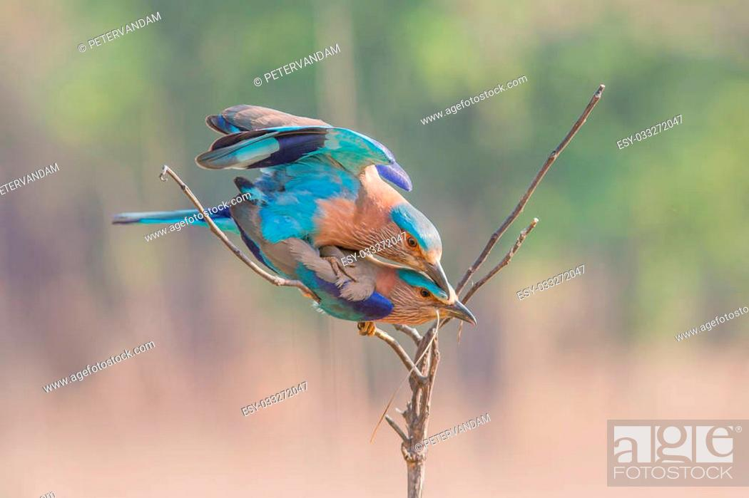 Stock Photo: Indian roller male mating with a female after offering her an insect.