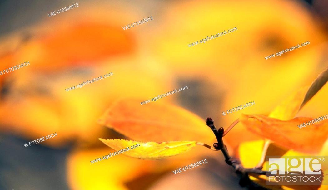 Stock Photo: gold, autumn, glowing, calf, branch, austria.