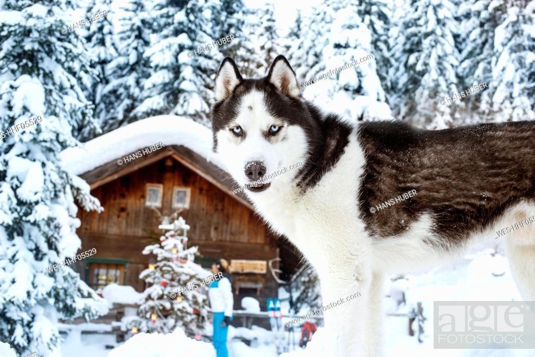 Stock Photo: Austria, Altenmarkt-Zauchensee, dog in snow with woman at hut in background.