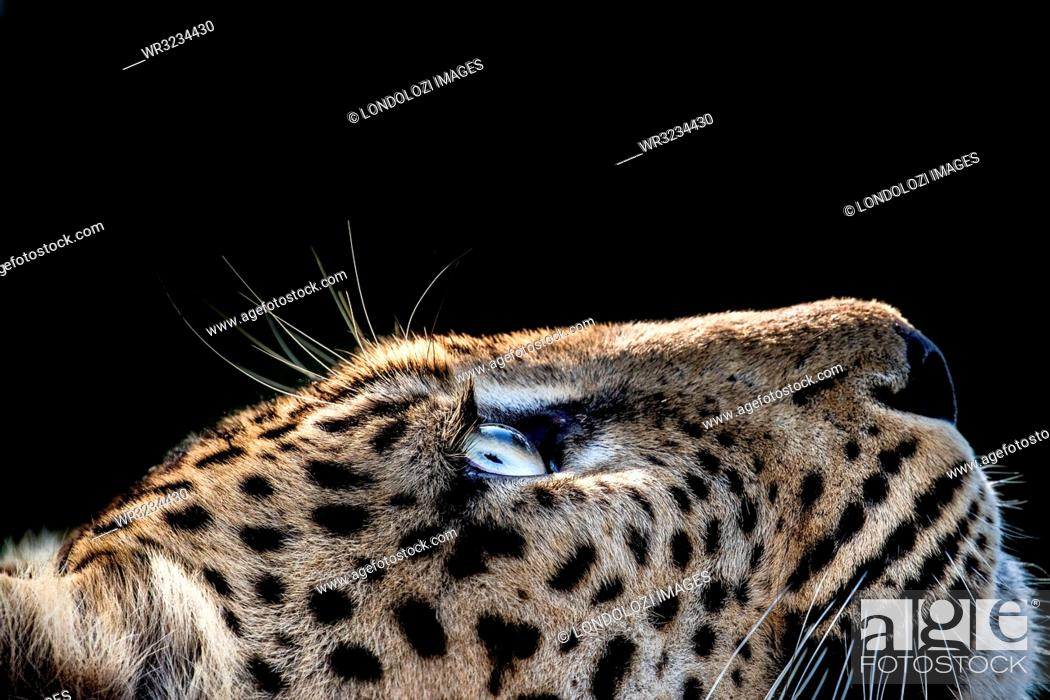 Stock Photo: A side-profile of a leopard's head, Panthera pardus, looking up into the light, glow on eyes, coat and whiskers, black background.