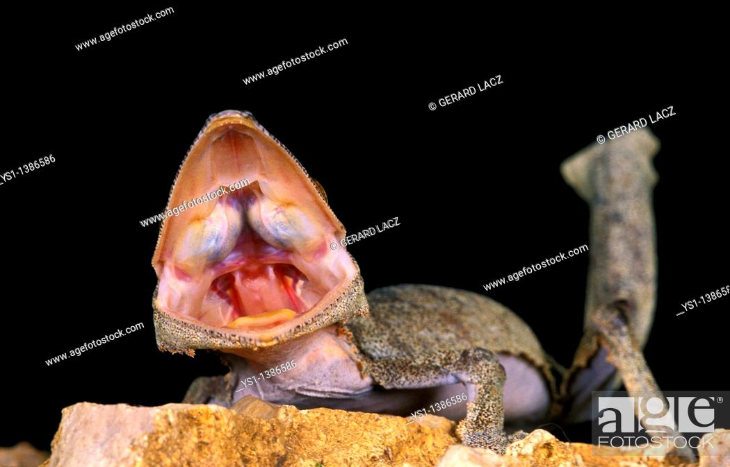 Stock Photo: Leaf-Tailed Gecko, uroplatus fimbriatus, Adult with Open Mouth, Aggressive Behavior.